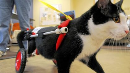 Scooter Scooter pays a visit to HealthSouth Harmarville Rehabilitation Hospital. The therapy cat has been named ASPCA Cat of the Year.