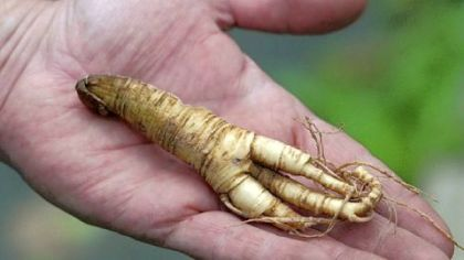 Steve Edwards The root of American ginseng is prized for its legendary medicinal and aphrodisiacal powers.