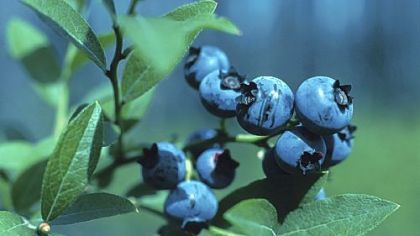 "Wild blueberries Blueberries are on the list of ""Ominivore's 100."""