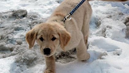 Xante Xante is a Golden Retreiver puppy who will be trained as a Seeing