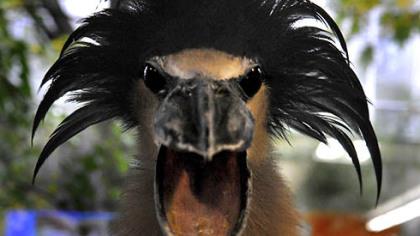 Garças do mundo Crackle-the-boat-billed-heron