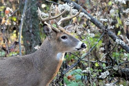 deer population Like humans, deer get sick and deer disease is a serious concern.