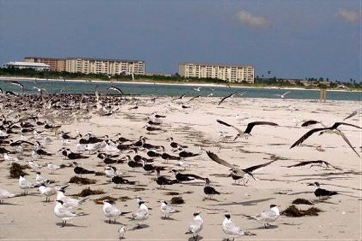 The north end of Caladesi Island The north end of Caladesi Island is a haven for shore birds.