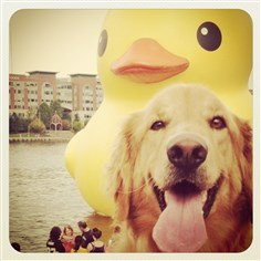 photo 3-2.JPG Erin O'Brien's dog with the rubber duck on the background.