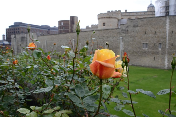20131025DOrosetowerMAG-1  Roses outside the Tower of London.