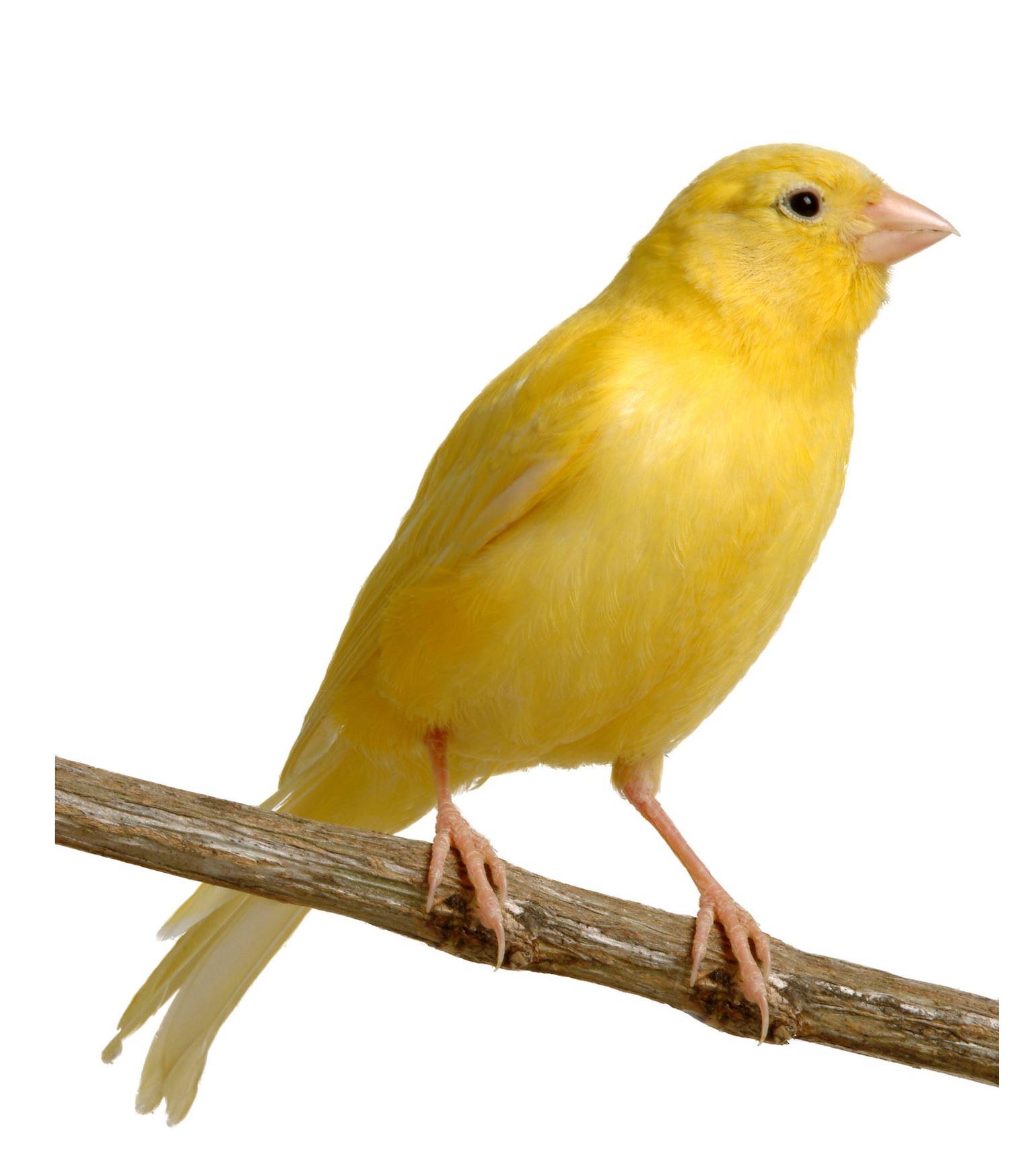 Canary A canary  Yellow Canary Bird