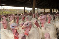 Turkeys, including tom turkeys with blue markings on their heads, stand at Pounds' Turkey Farm in Leechburg on Oct. 31, 2013.
