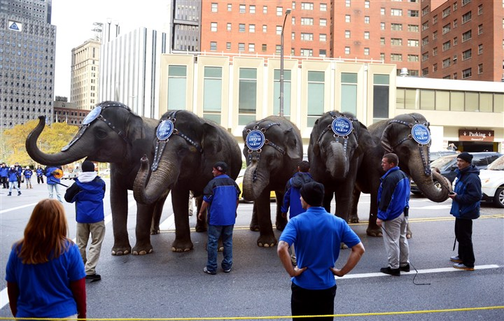 20131105MWHElephantsLocal14-13 Elephants from the Ringling Bros. and Barnum & Bailey Circus pause while marching through Downtown Tuesday morning. The circus is at Consol Energy Center Wednesday through Sunday.