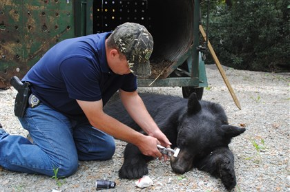 Wildlife Conservation Officer Brandon Bonin tattoos a bear  A new study shows black bears pass through the suburbs, but rarely live there. Wildlife Conservation Officer Brandon Bonin tattoos a Fayette County bear that was not a part of the study.