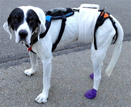 pettales1109 Irwin with with purple boots on back feet and that harness with the handle that owner Faye Klein of Peters uses to help him walk.