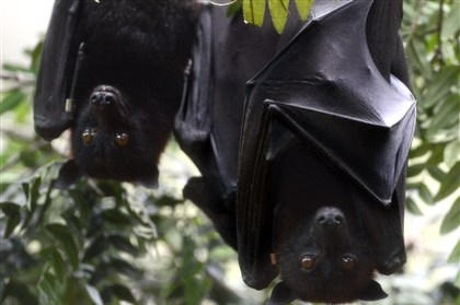 20131112dsHangingOutlLocal02-1 Malayan flying foxes hang upside down from a tree in the Canary's Call exhibit at the National Aviary on the North Side.