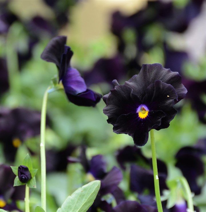 BlackPansyMAG-1 'Accord Black Beauty' pansy.