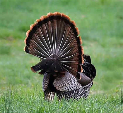 Wildturkey A wild turkey fanning its feathers.