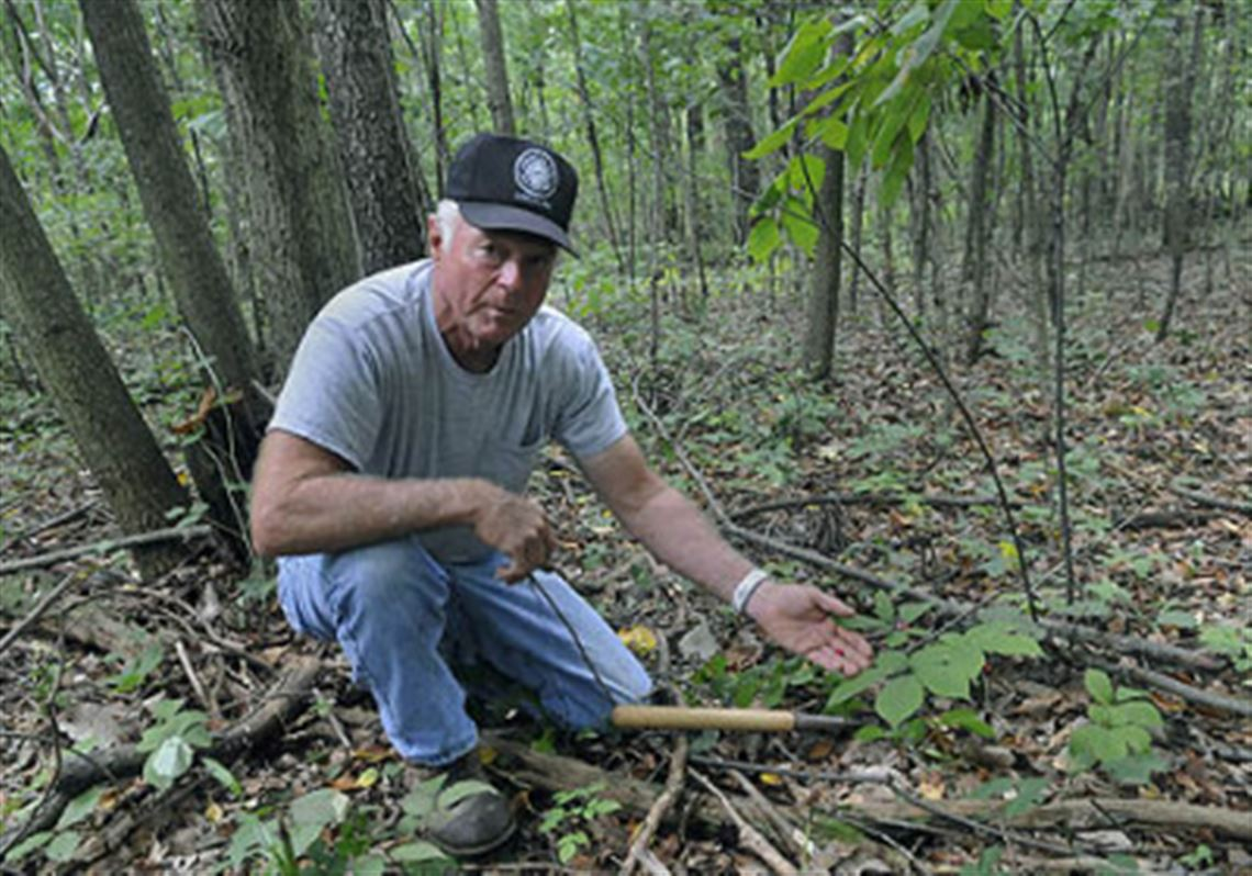 Secret search for wild (and pricey) ginseng begins in