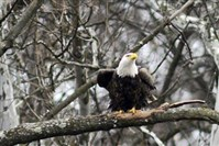 Bald eagles can be seen along the hillside not far from the Glenwood Bridge in Hays.