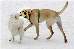 Fleury, an 8-month old American Eskimo, tugs on the ear of her friend, Riggins, a 1-year old Labrador retriever, as they play in the snow at the North Park dog park.