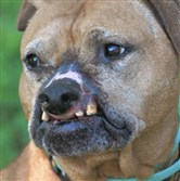 Sam, a pit bull who was rescued from Jacksonville, Fla., will be at the Hello Bully gala on May 17 at Soldiers and Sailors Memorial Hall in Oakland.