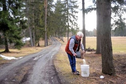 "Dan Wingard collects sap Dan Wingard collects sap from one of 360 buckets he has on his and surrounding land. He pays his neighbors ""rent"" in the form of syrup."