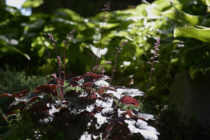 Heuchera Heuchera's are planted in Marian Edwards' garden.