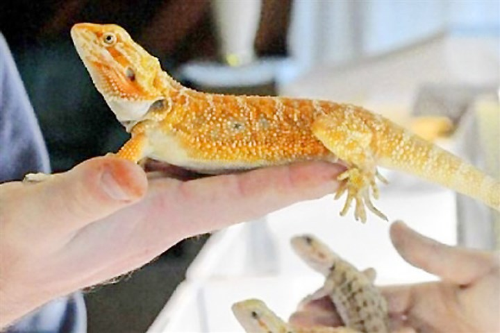 Pets 2 Bearded dragons were available at the Dragon Fortress booth at the Pittsburgh Reptile Show & Sale held each month in Cheswick.