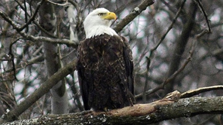At the nest site A bald eagle, similar to this one along the hillside above East Carson Street near in Hays, was killed in Cambria County.