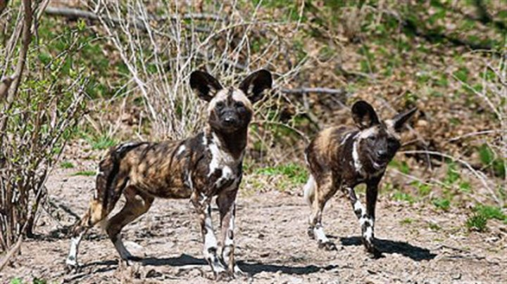 file photo of african painted dogs African painted dogs at the Pittsburgh Zoo.