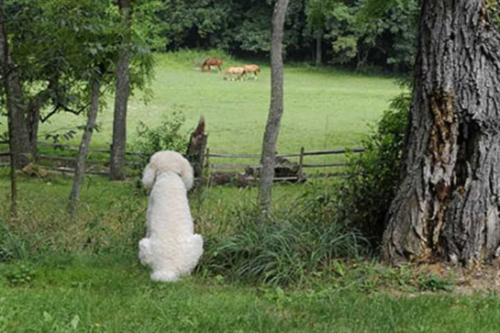 owner's poodles Sam, one of the current owner's poodles watches horses graze in the pasture below the house.