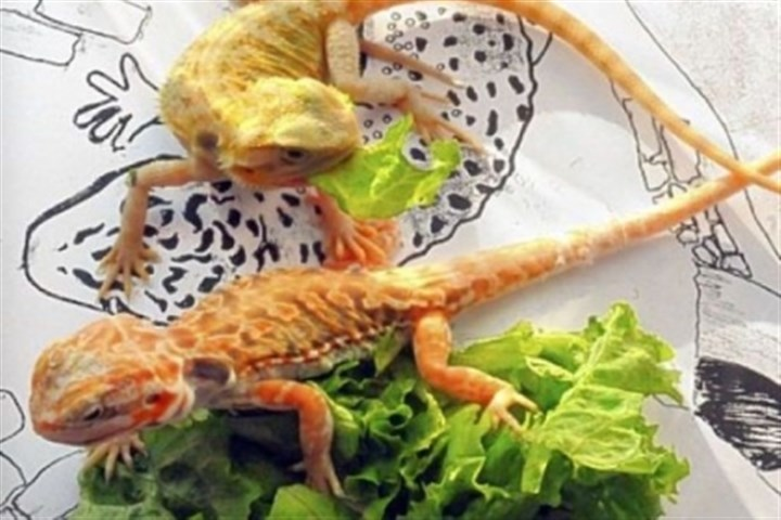 Pets 6 Bearded dragons munch on lettuce and bask in sunshine at the Pittsburgh Reptile Show & Sale in Cheswick.