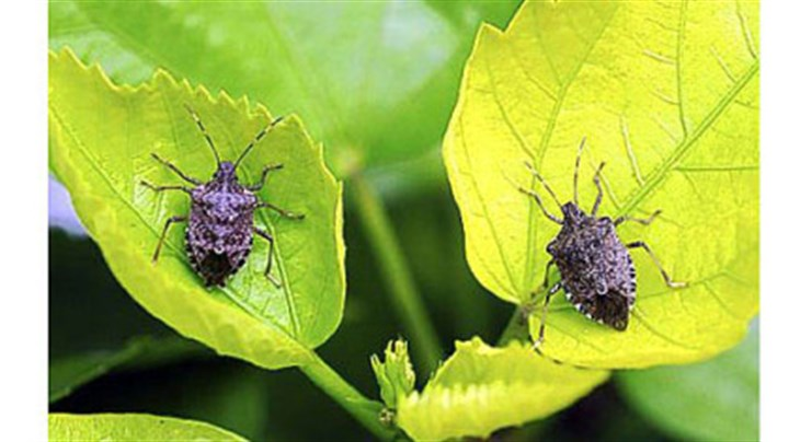 stink bugs The warm weather and rain are responsible for a resurgence of the dreaded stink bugs.
