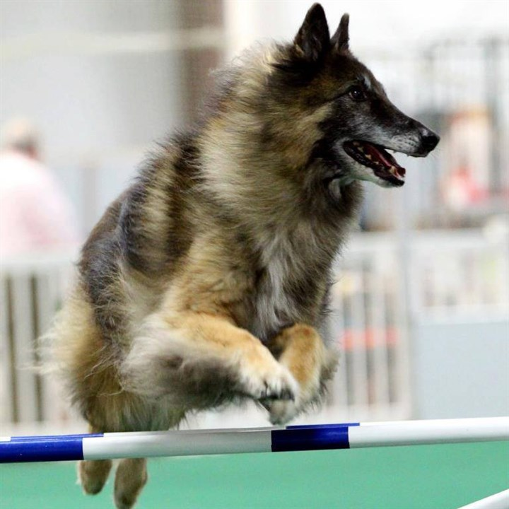 20131130HOPetTales Merlin, a 12-year-old Belfian Tervuren from McCandless, is heading to Orlando, Fla., next month to compete in the AKC National Agility Championship.