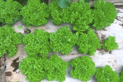 Lettuce One of six lettuce types Clarion River Organics sells as a mix.