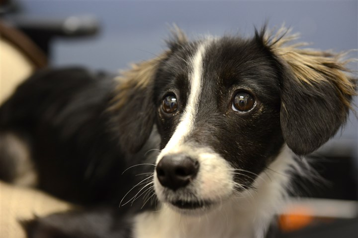 "20131118dsPups01.jpg ""Serah"", a 6-month-old boarder collie mix, sits in the Western Pennsylvania Humane Society on the North Side."