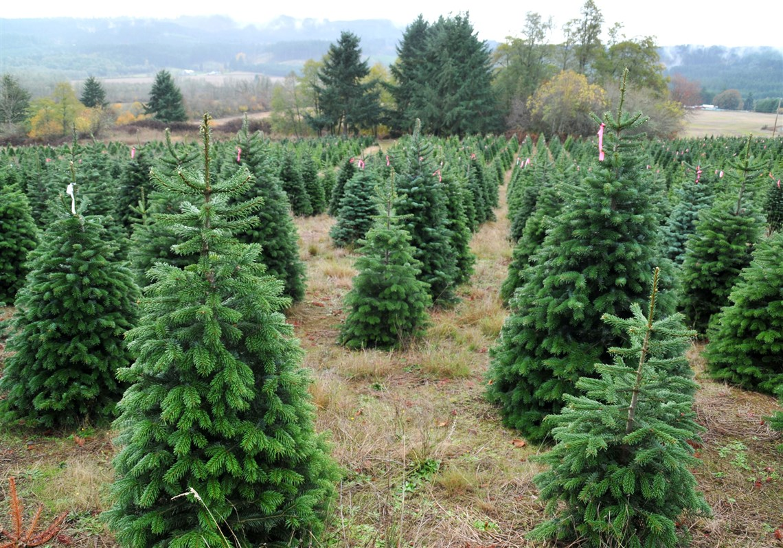 How To Choose The Best Christmas Tree Pittsburgh Post Gazette - Plant Christmas Trees