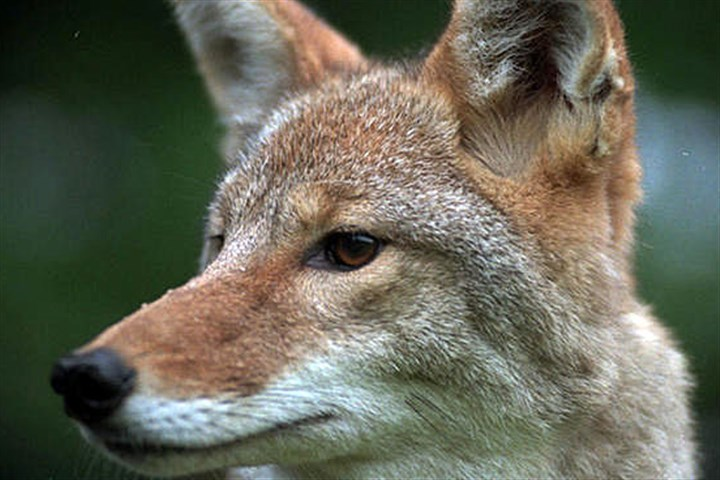 Coyote Coyotes are the state's second-largest predator after the black bear.