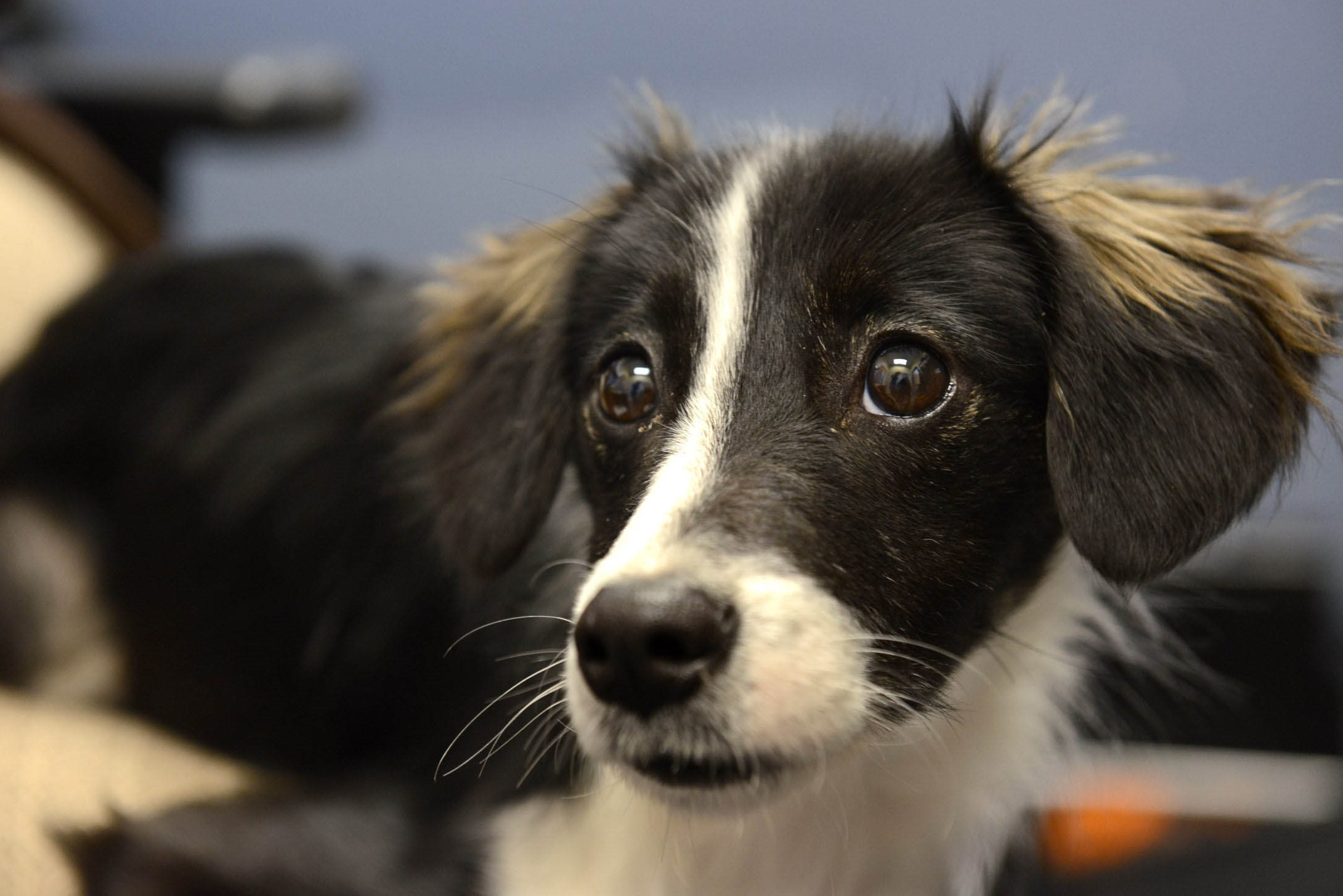A border collie mix at  Western Pennsylvania Humane Society