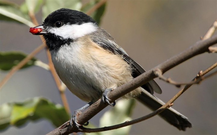 "chickadee-2 Chickadee: ""The familiar chickadee makes good use of sunflower seeds and other high-calorie foods. Chickadees can add fat reserves that warm them during the night after only a few hours of daytime foraging."""