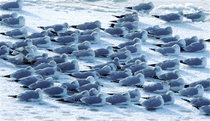 20140107dsFridgidLocal Sea gulls take cover on a sheet of ice in the Allegheny River, during Tuesday morning's deep freeze.
