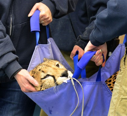 20140107dsCheetahPress03 A cheetah is carried for his examination at the Animal Care Center Tuesday at the Pittsburgh Zoo & PPG Aquarium.