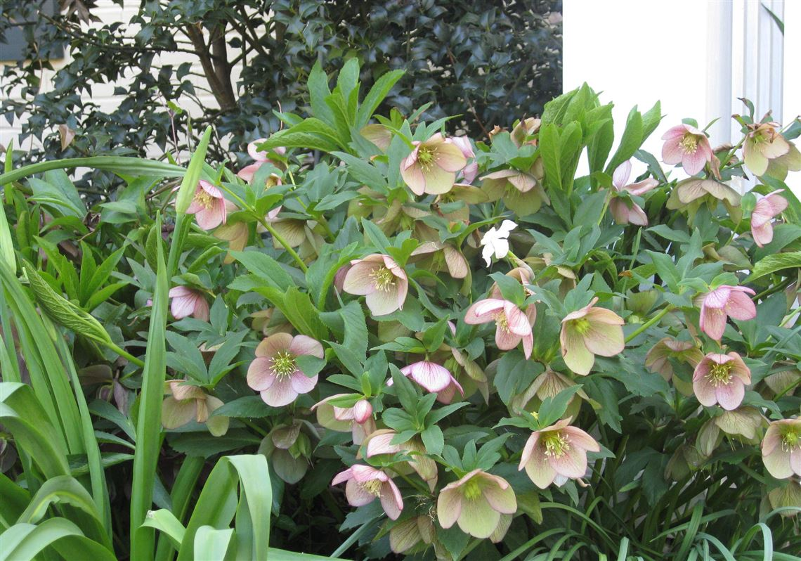 Gardening Hellebores Hardy Enough To Withstand Deep Freeze
