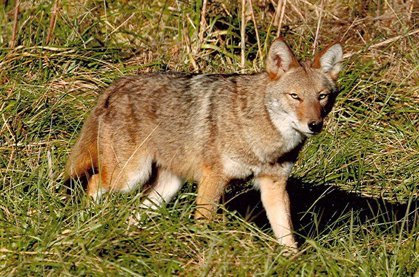 Coyote The coyote may be the most adaptive predator in North America ...