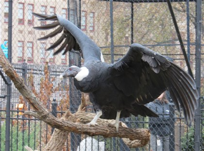 National Aviary condor Precious Precious is one of the National Aviary's three new Andean condors.