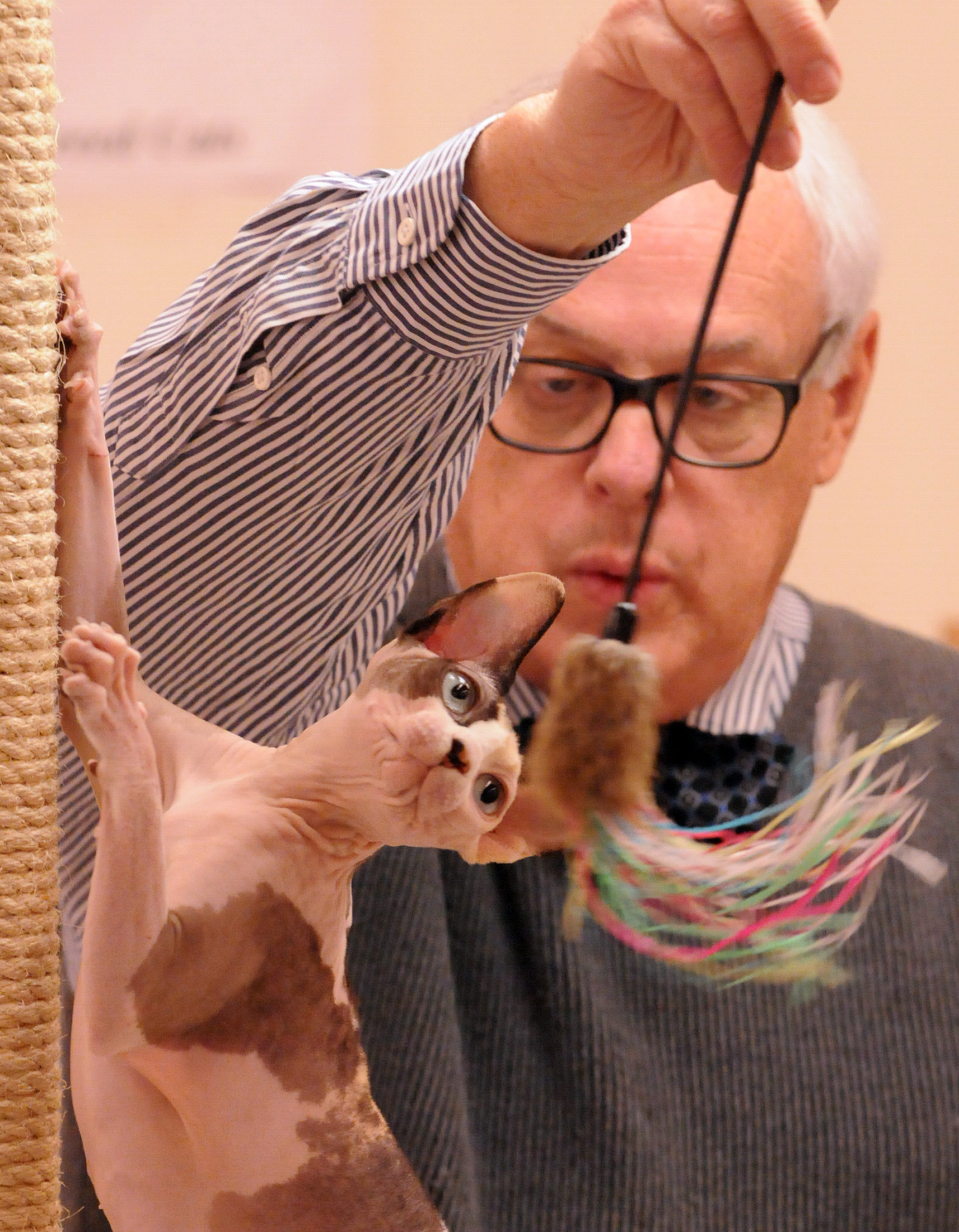 catshow3 Judge Doug Myers evaluates a 16-month-old Sphynx named Blair at the 2102 Steel City Kitties cat show. This year's edition takes place next weekend at the Pittsburgh Masonic Center in Ross.