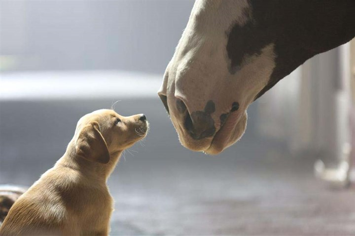 BudweiserSuperBowlAD.jpg Budweiser ran an ad that included a puppy along with its usual Budweiser Clydesdales during the Super Bowl on Sunday.