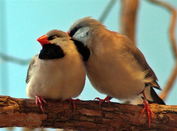 Finches Two shaft-tailed finches take part in allopreening, a courtship activity in which they preen one another. Credit: