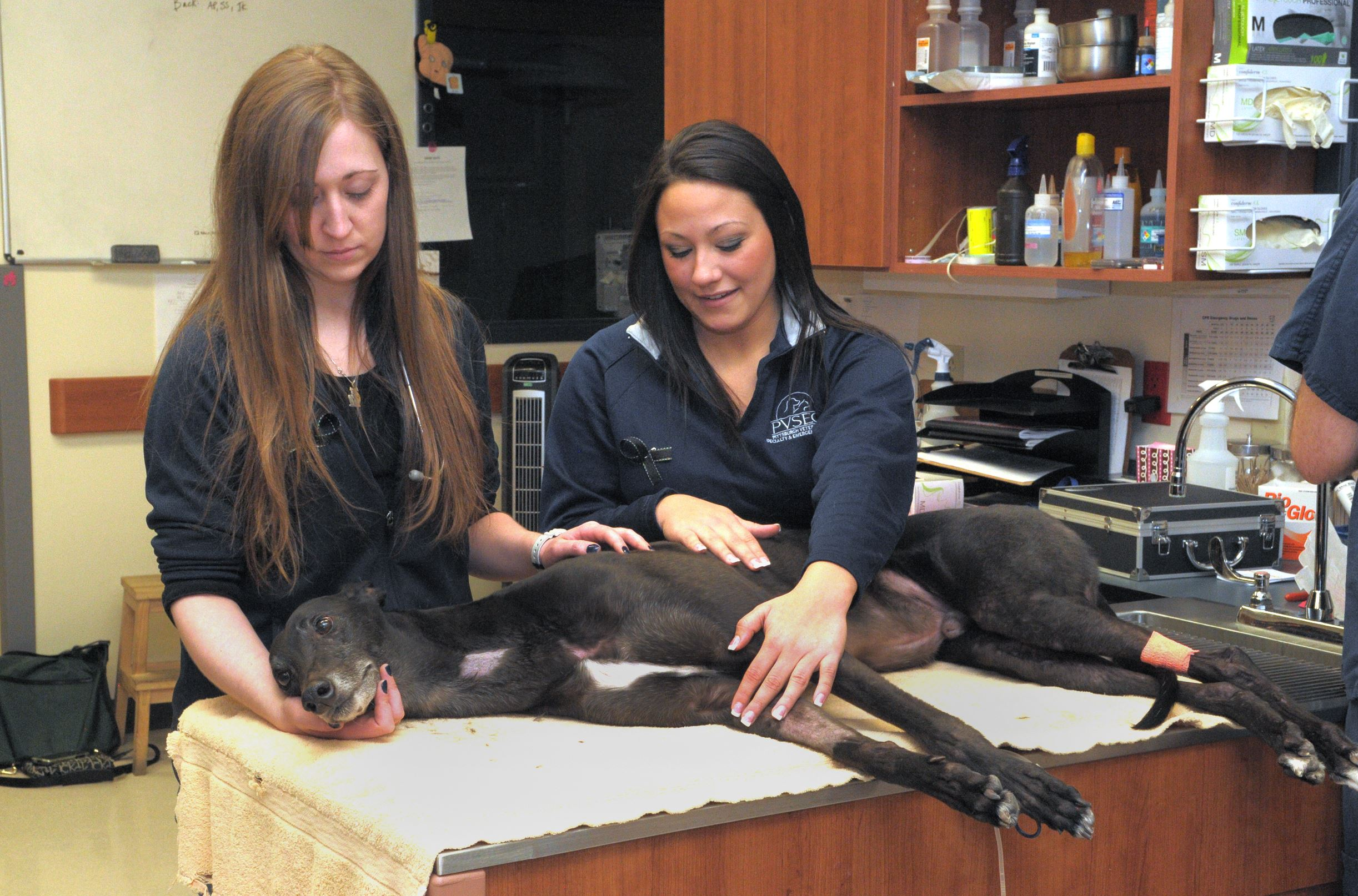 "Pet Tales  Veterinary technician Mallory Cavanaugh and assistant Morgan Meeder comfort a greyhound named ""Mike"" as it donates blood at the Pittsburgh Veterinary Specialty and Emergency Center in Ohio Township."