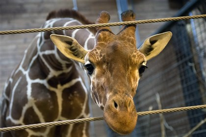 9mw00lew-1 A perfectly healthy young giraffe named Marius was shot dead in the presence of visitors at Copenhagen Zoo.