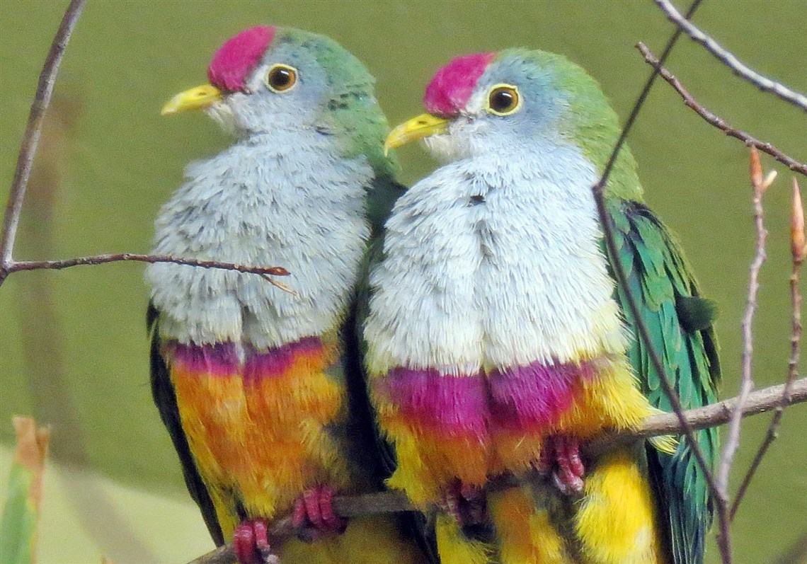 Beautiful fruit pictures - A Pair Of Beautiful Fruit Doves