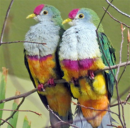 2HOBeautifulFruitDove0219-1 A pair of beautiful fruit doves.