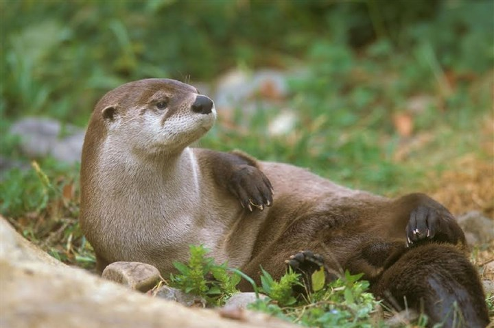 Reproducing otter population The presence of reproducing otter populations is evidence of healthy water systems.