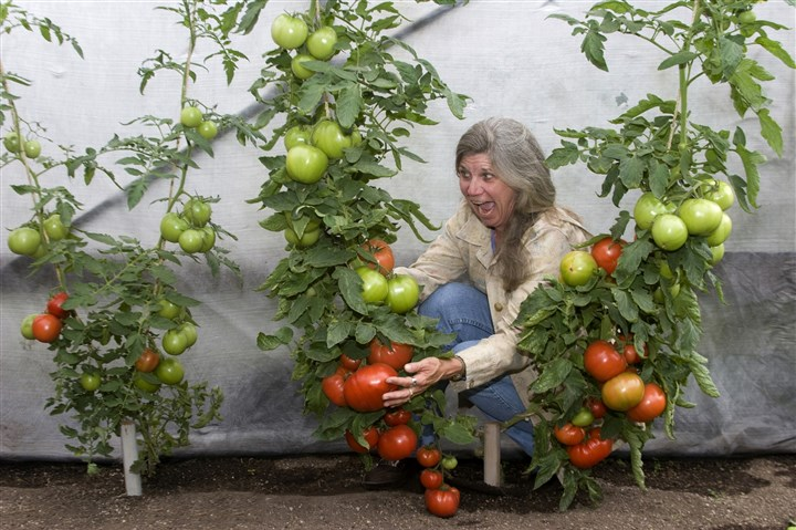 Julie Johns with grafted tomatoes Julie Johns from Territorial Seeds reacts to grafted tomato varieties. On the left is a non-grafted plant; on the right is grafted. They are called Mighty 'Mato, from SuperNaturals Grafted Vegetables.